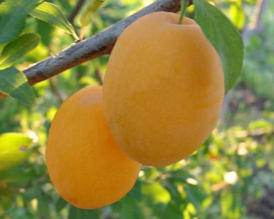 Скороплодная слива алыча
