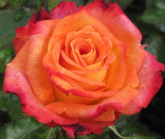 Императрица Фарах, роза
