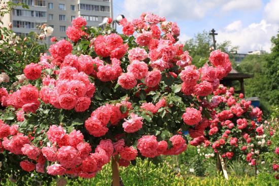 Розовая роза Розариум ютерсен