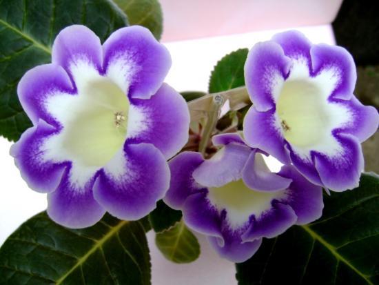 Фиолетовая Глоксиния