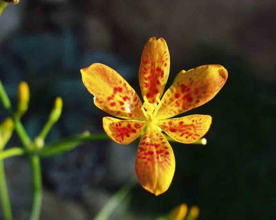 Беламканда китайская цветок