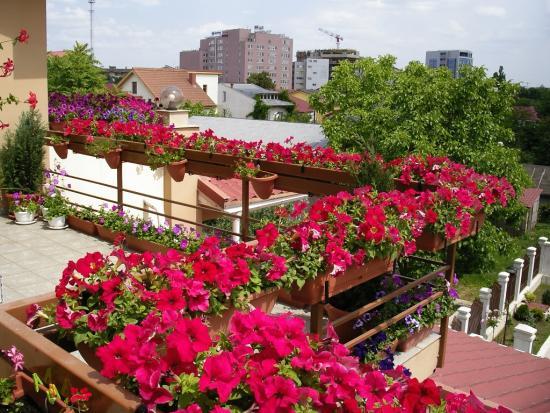 Петуния на балконе из семян