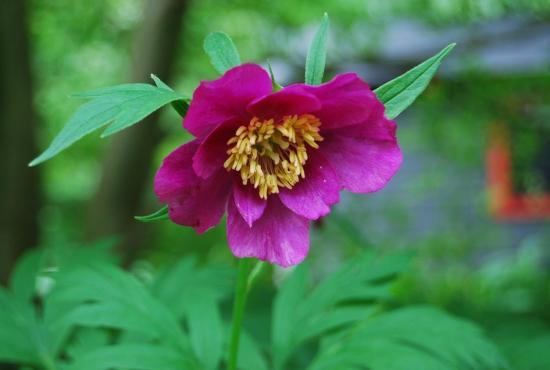 Цветок пион уклоняющийся