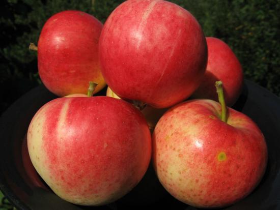 Энтерпрайз яблоня