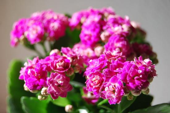 Каланхоэ цветет