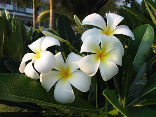 Пахиподиум ламера цветет