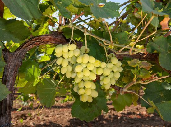 Алиготе виноград