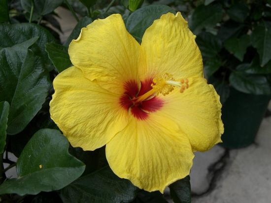 Гибискус цветет