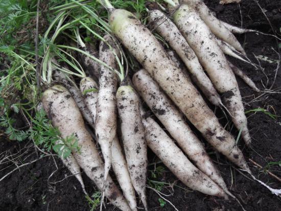 Морковка белая