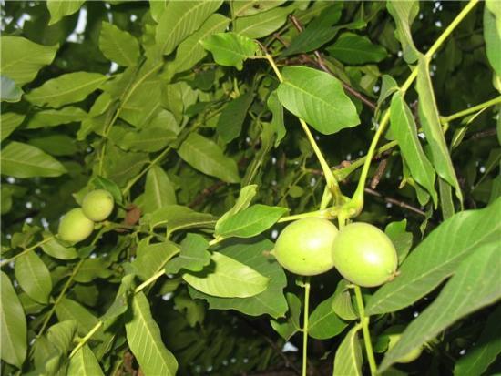 Выращивание грецкого ореха на приусадебном участке