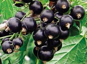 Посадка черной смородины весной: особенности, уход