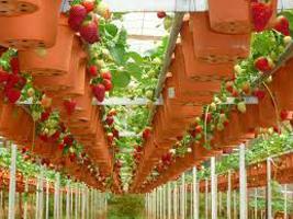 Голландский способ выращивания клубники: особенности, преимущества