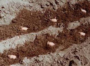 Региональные особенности и время посадки картофеля