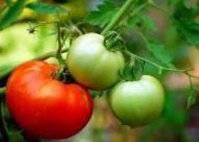 Прищипывание томатов