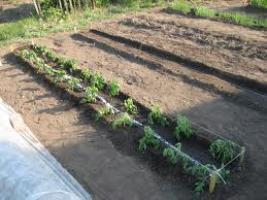 Когда высаживать рассаду помидоров?