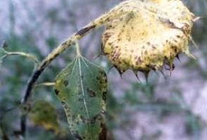 Лечение корней подсолнечника
