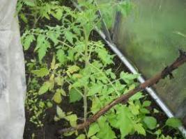 Желтеет рассада помидор