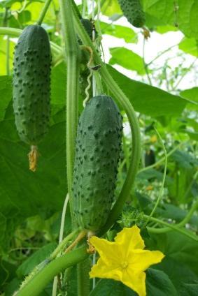 Семена самоопыляющихся огурцов